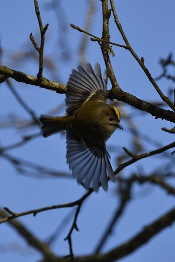 Fuglekonge på vintertur