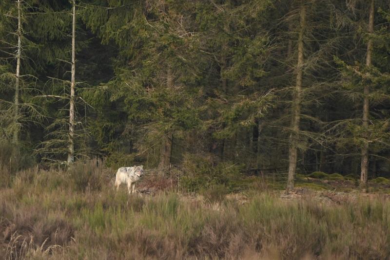 Ulv i skovbryn